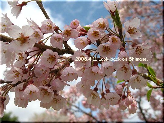 2008.04.11醍醐桜9.JPG